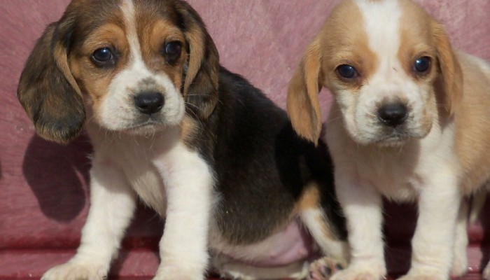 1360205190_479883786_3-Beagle-Mini-13-polegadas-Cachorros