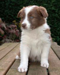 border collie choc