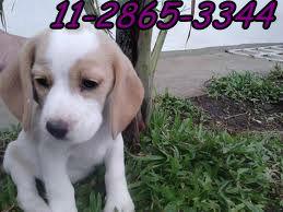 beagle bic