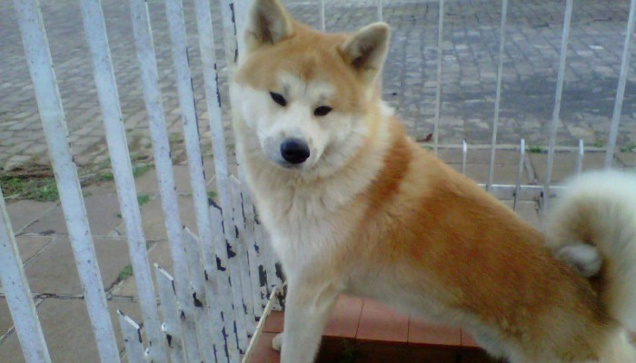 akita-purissimo-com-pedigree-linhagem-campe-8417-MLB20004127396_112013-F