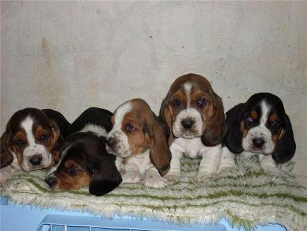 basset+hound+filhotes+tricolores+sao+paulo+sp+brasil__586181_1