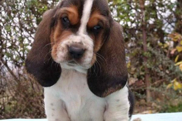 basset hound (3)