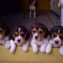 filhotes de beagle 2