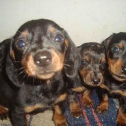 teckel-dachshund-salsichinha-filhotes-basset-cofapinho-4074-MLB4892338686_082013-O
