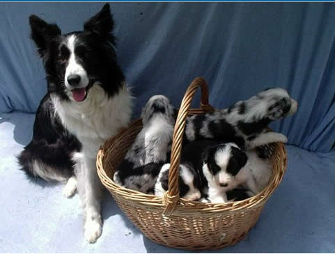bordes collie
