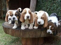 basset hound (2)