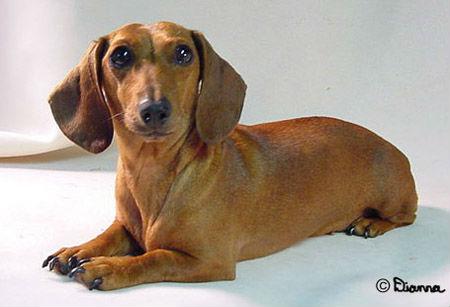 cachorro-salsicha4