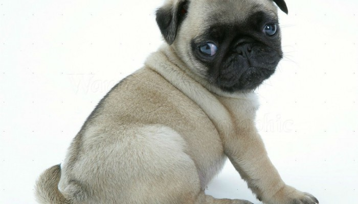 14099-Fawn-Pug-pup-sitting-looking-round-white-background