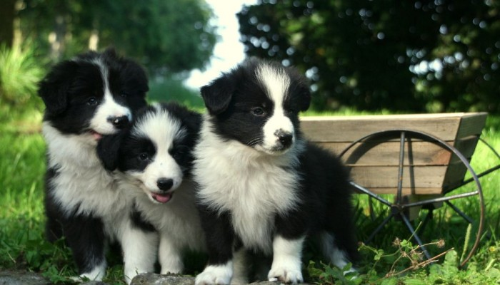 border collie ..... - Copia - Copia