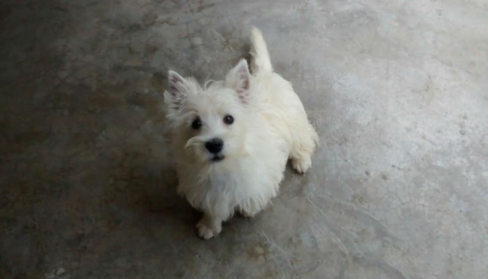 WHEST HIGHLANDER WHITE TERRIER