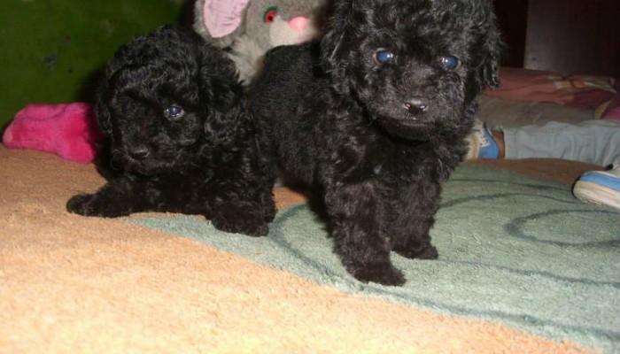poodle-micro-toy-lindos-filhotes-fofinhos-e-saudveis-20131101145848