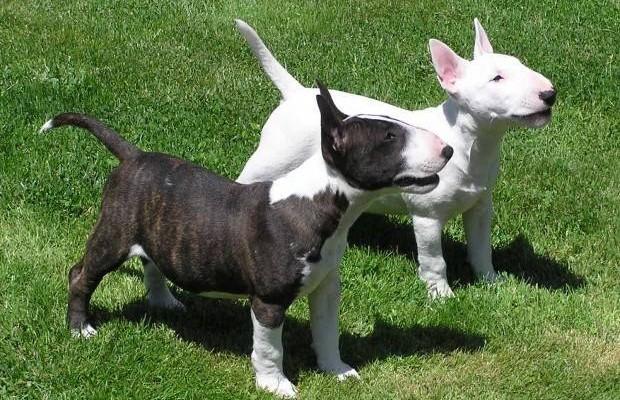 bull terrier .,.