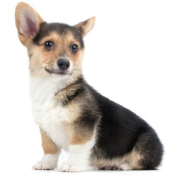 welsh-corgi-wallpapers-9