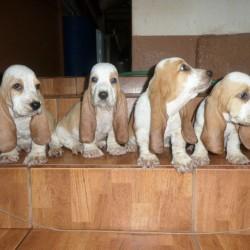Basset hound 010