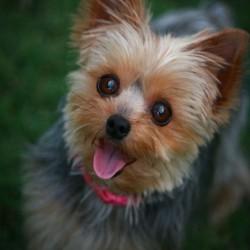 256100__yorkshire-terrier_p