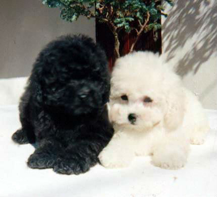 poodle toy 1