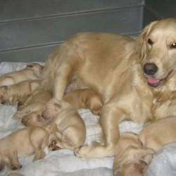 filhotes-de-golden-retriever-machos-e-femeas-com-pedigree-cbkc-fci-54103-1356924625