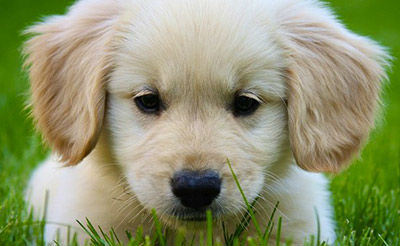 golden-retriever-sad-puppy