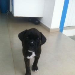 fotos boxerhttps://www.cachorrosbrasil.com.br/anuncio-novo/?step=listing-details&hash=18565c1fa465fec469c9#