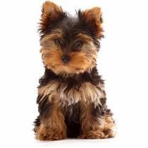 cachorros-raca-yorkshire-492111-MLB20478774073_112015-Y