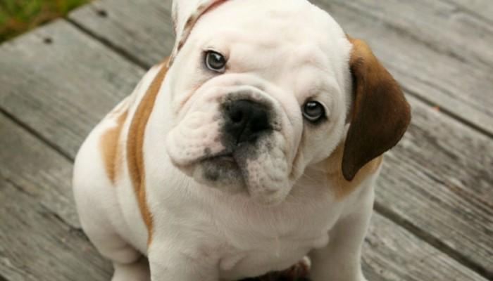 bulldog-5158d9290ff1b