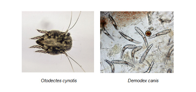 Otodectes cynotis e Demodex canis