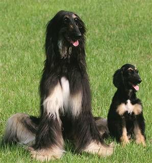 raca-afghan-hound-9