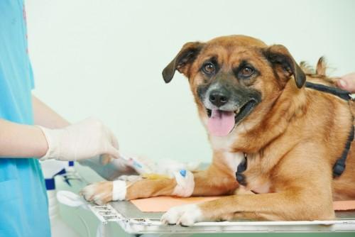 Transfusões de sangue entre cães e gatos