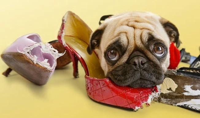 Cachorro com sapatos