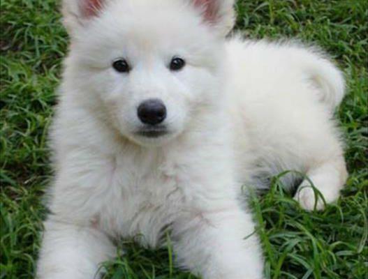 pastor-branco-suico-lindos-filhotes-machos-e-femeas-disponiveis--20150402045053-98924