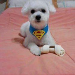 112382_258056-poodle-macho-micro-toy-para-cruzar
