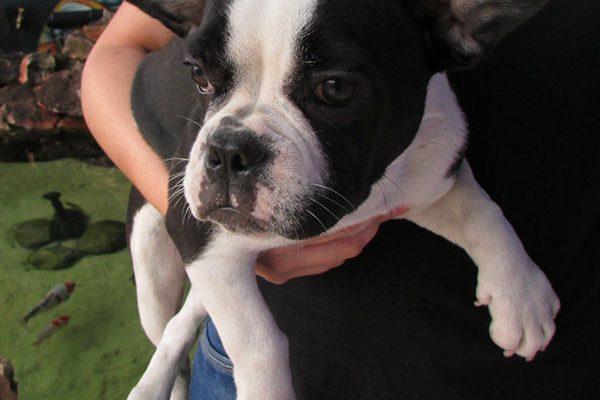 Bulldog Frances Femea 2