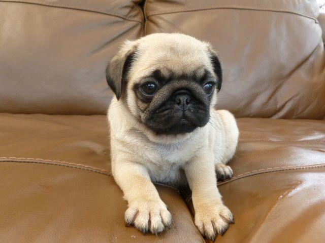 Small Dog For Sale Winnipeg