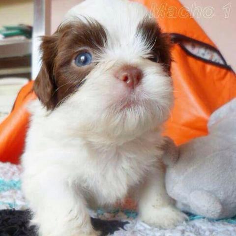 filhote com nariz marrom e olhos claros
